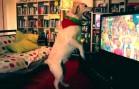 Adorable Labrador Dog Celebrates Portugal Goal