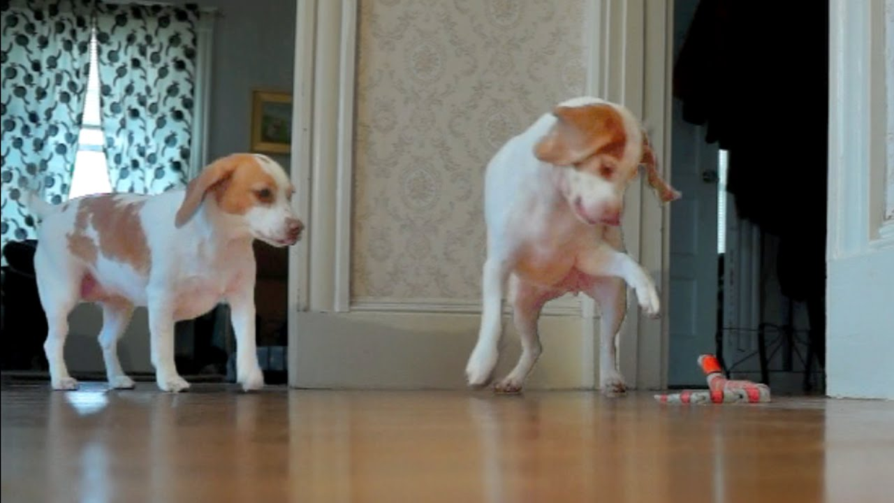 Beagle Siblings Team Up to Fight a Toy Snake