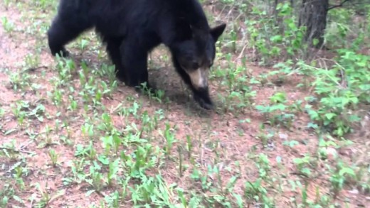 Black Bear Stalks Terrified Joggers!