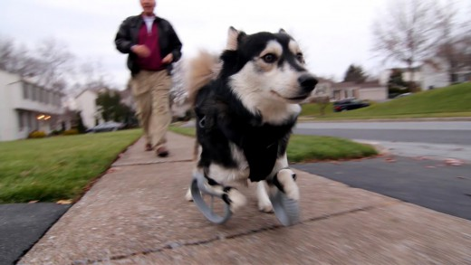 Disabled Dog Runs For The First Time With 3D Printed Prosthetics