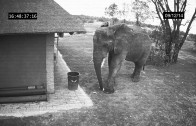 Elephant Caught on Camera Cleaning up the Trash