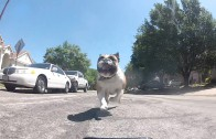 English Bulldog Chasing RC Car with a GoPro