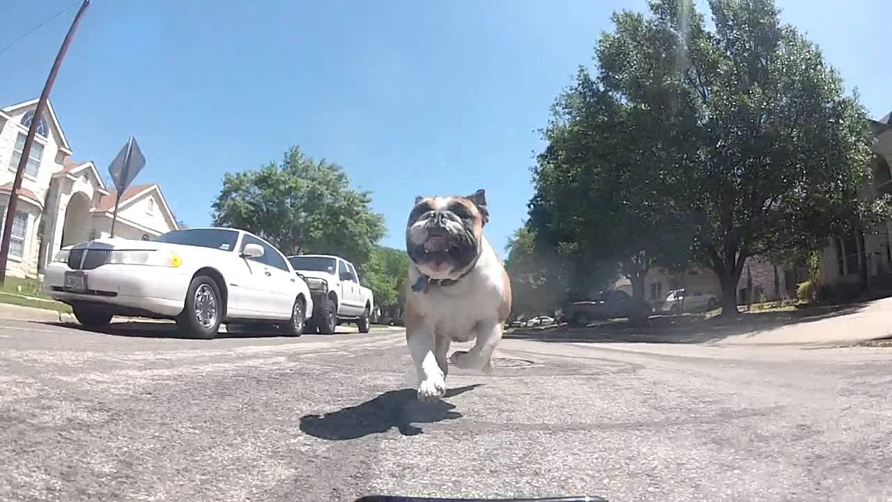 English Bulldog Chasing RC Car with a GoPro