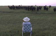 Farmer Serenades His Cattle with His Trombone
