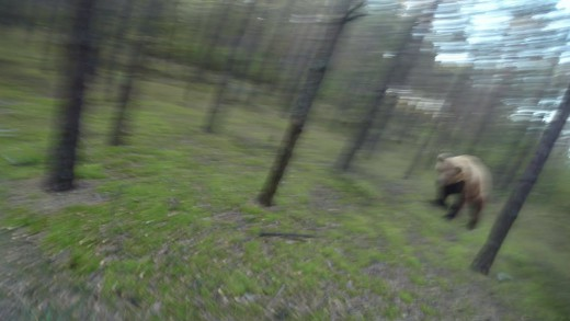 Man is Trying to Run Away from Attacking Bear