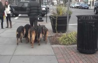 This Guy Walks His Pack Of German Shepherds In Public Like A Boss