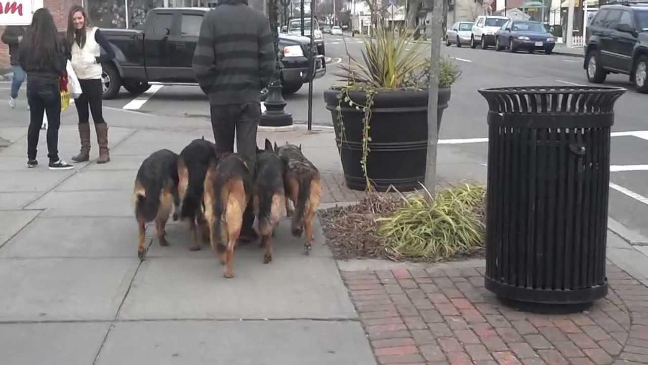 This Guy Walks His Pack Of German Shepherds In Public Like A Boss