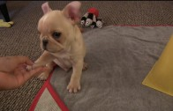 12-Week-Old French Bulldog Puppy Performs Amazing Tricks