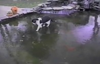 Cat Tries to Catch Fish Under a Frozen Pond