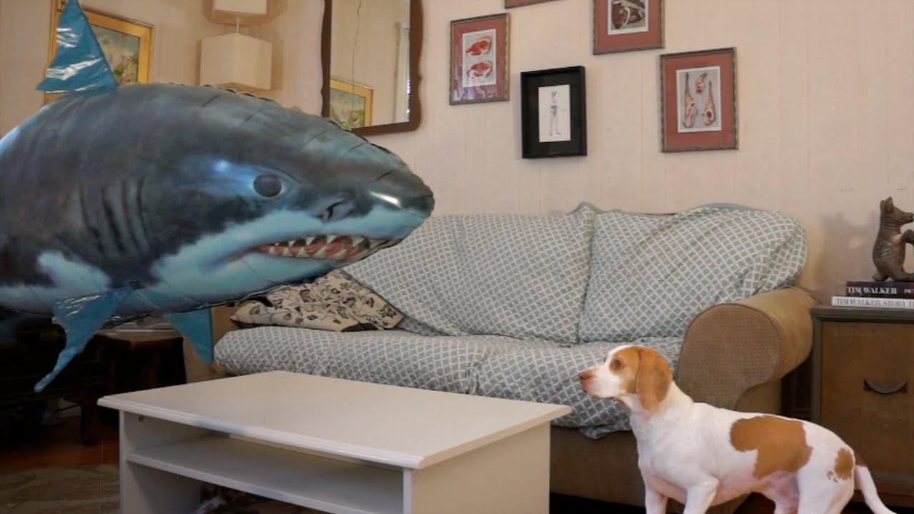 Cute Dog Maymo vs. Shark