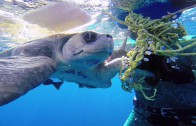 Diver Frees an Entangled Sea Turtle