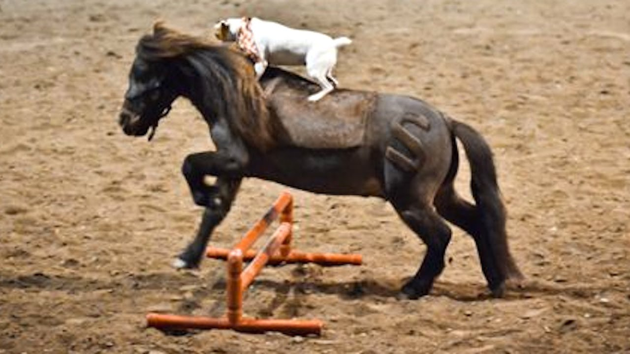 This Dog Rides a Miniature Horse – Amazing Friendship