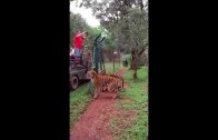 Epic Slow Motion Tiger Jump!