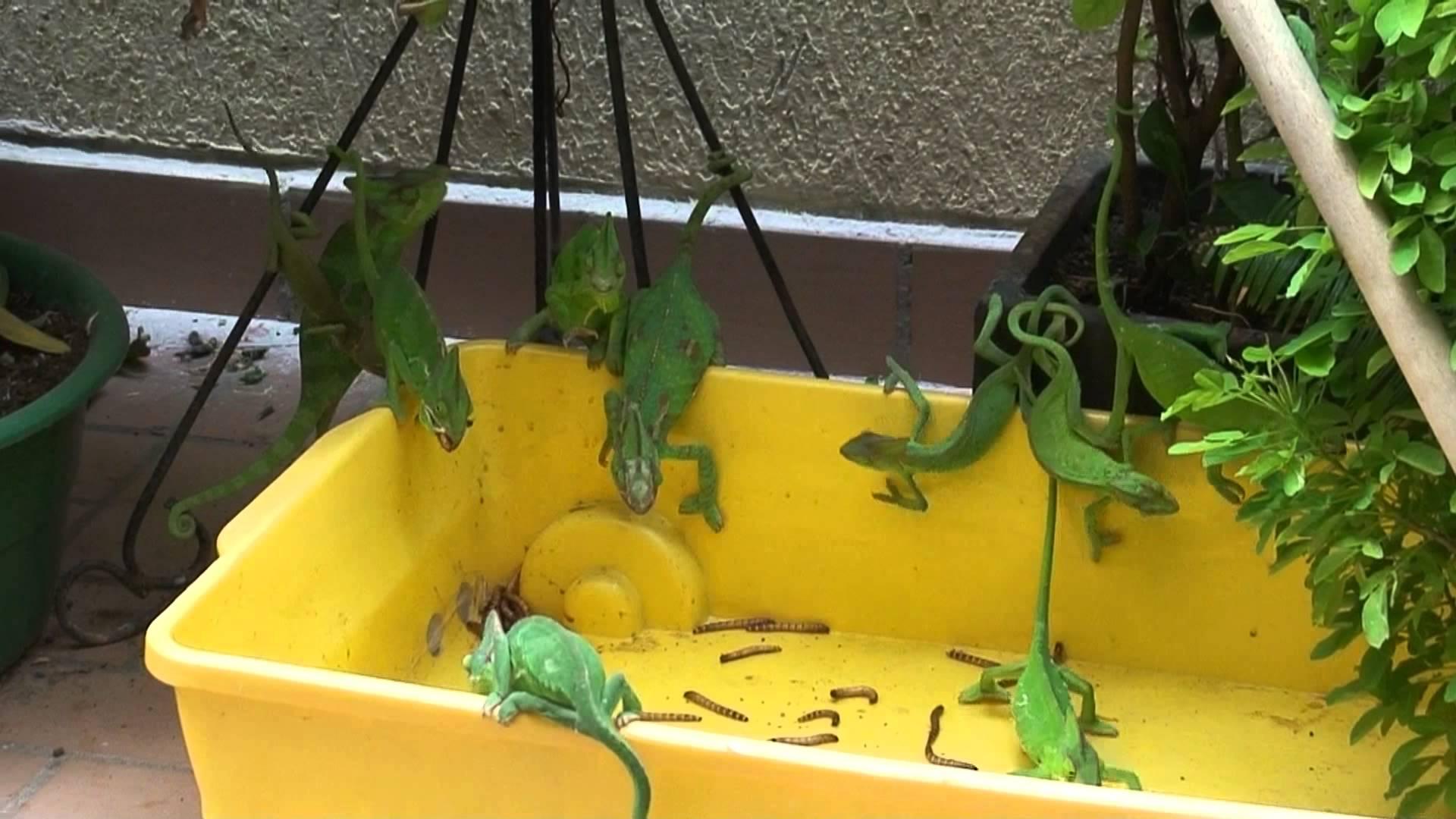 How to Feed a Chameleon… No Wait, Chameleons?