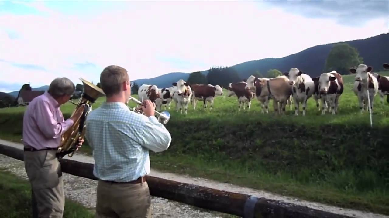 Jazz Band Serenades Cows