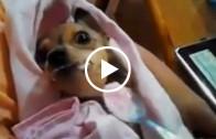 Poor Paralyzed Puppy Eating Yogurt