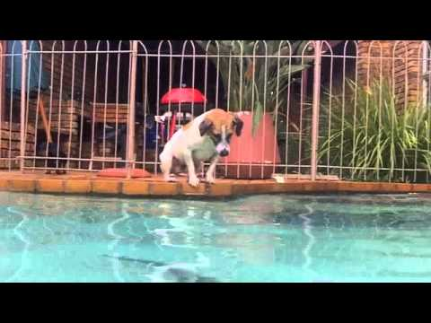 Watch this Dog Dive and Catch a Huge Catfish in a Pool