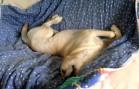 Cute Yellow Labrador Dreaming