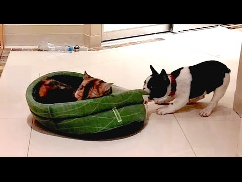 French Bulldog Puppy Gets His Bed Back
