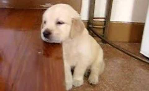 Golden Re-Sleeper – Cute Puppy Falling Asleep