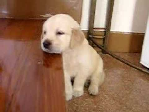Golden Re-Sleeper – Cute Puppy Falling Asleep