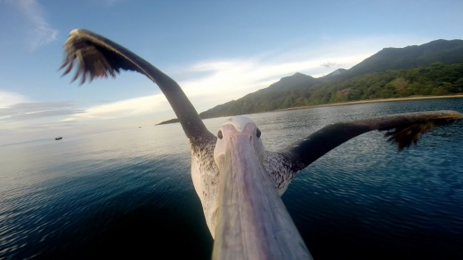 Rescued Pelican Learns To Fly With GoPro