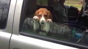 Adorable beagle puppy is not interested in closing car window