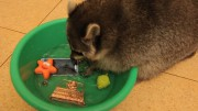 This raccoon will wash everything you love